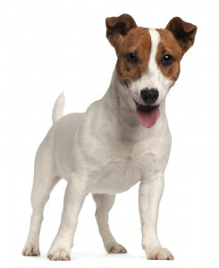 Smooth coated Jack Russell Terrier