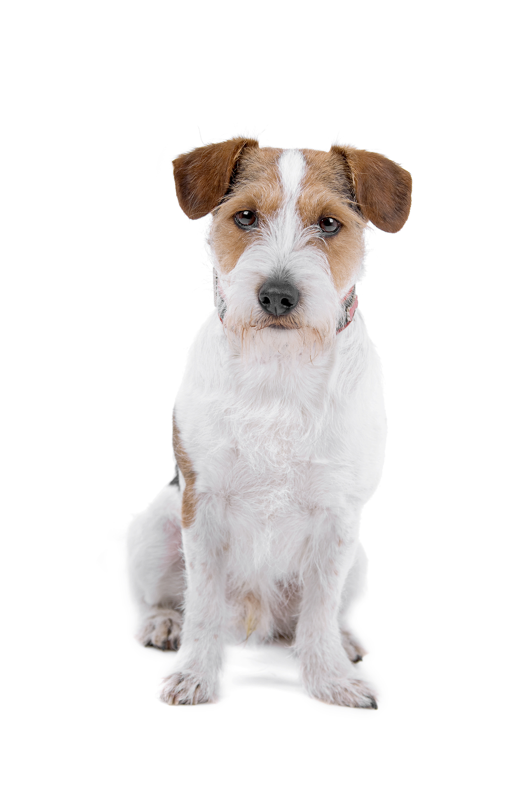 Jack Russell Terrier Breed Info - Happy Jack Russell