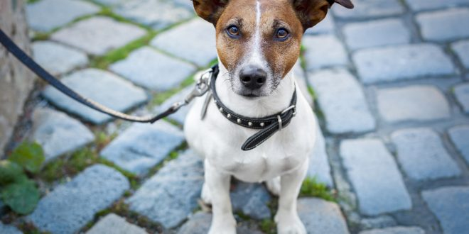 Rescue a Jack Russell