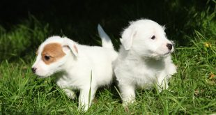Chew toys for Jack Russell Puppies