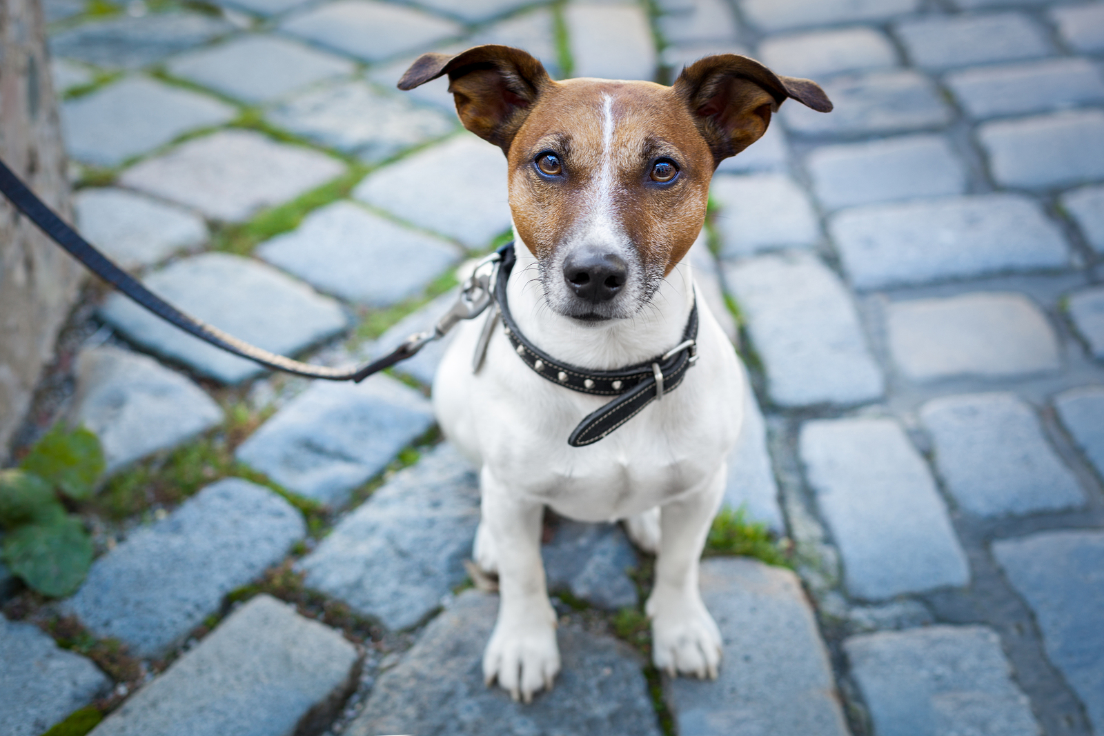 Leash training jack russell puppy
