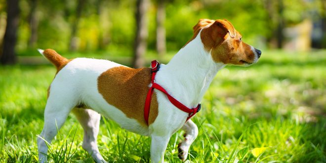 Jack Russell Terrier - the hunting dog