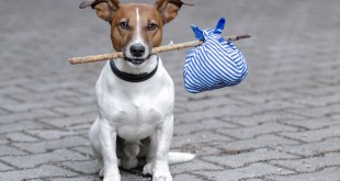 Traveling Jack Russell Terrier