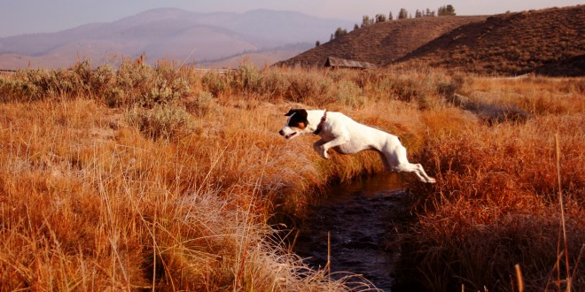 Protect Your Jack Russell From Fleas and Ticks