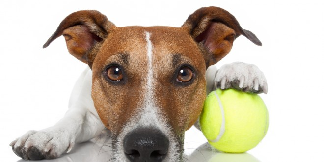Indoor Exercises for Your Jack Russell Terrier