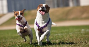 Active Jack Russell