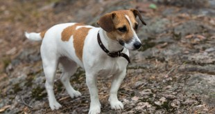 Jack Russell Terrier Too Old to Train