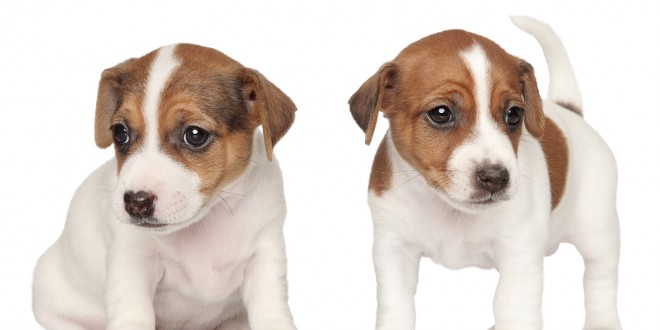 Done deal jack russell pups