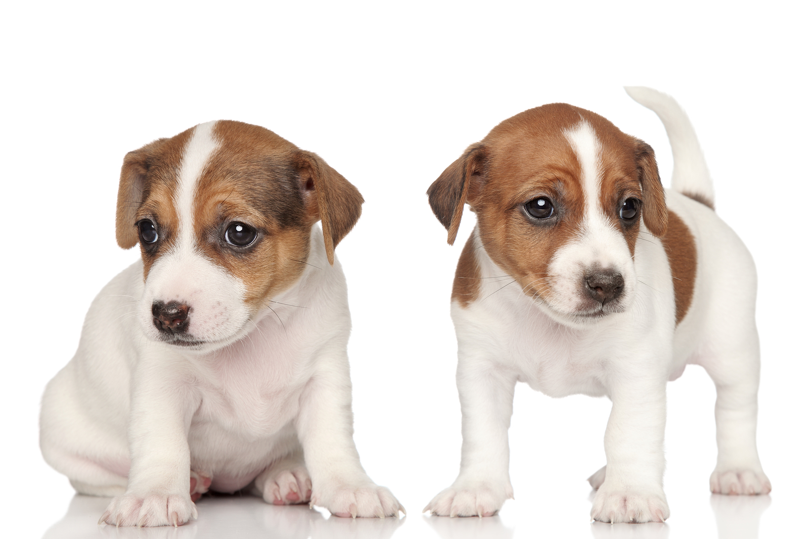 8 tips for raising a happy jack russell   happy jack russell