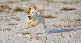 Jack Russell Terrier Personality