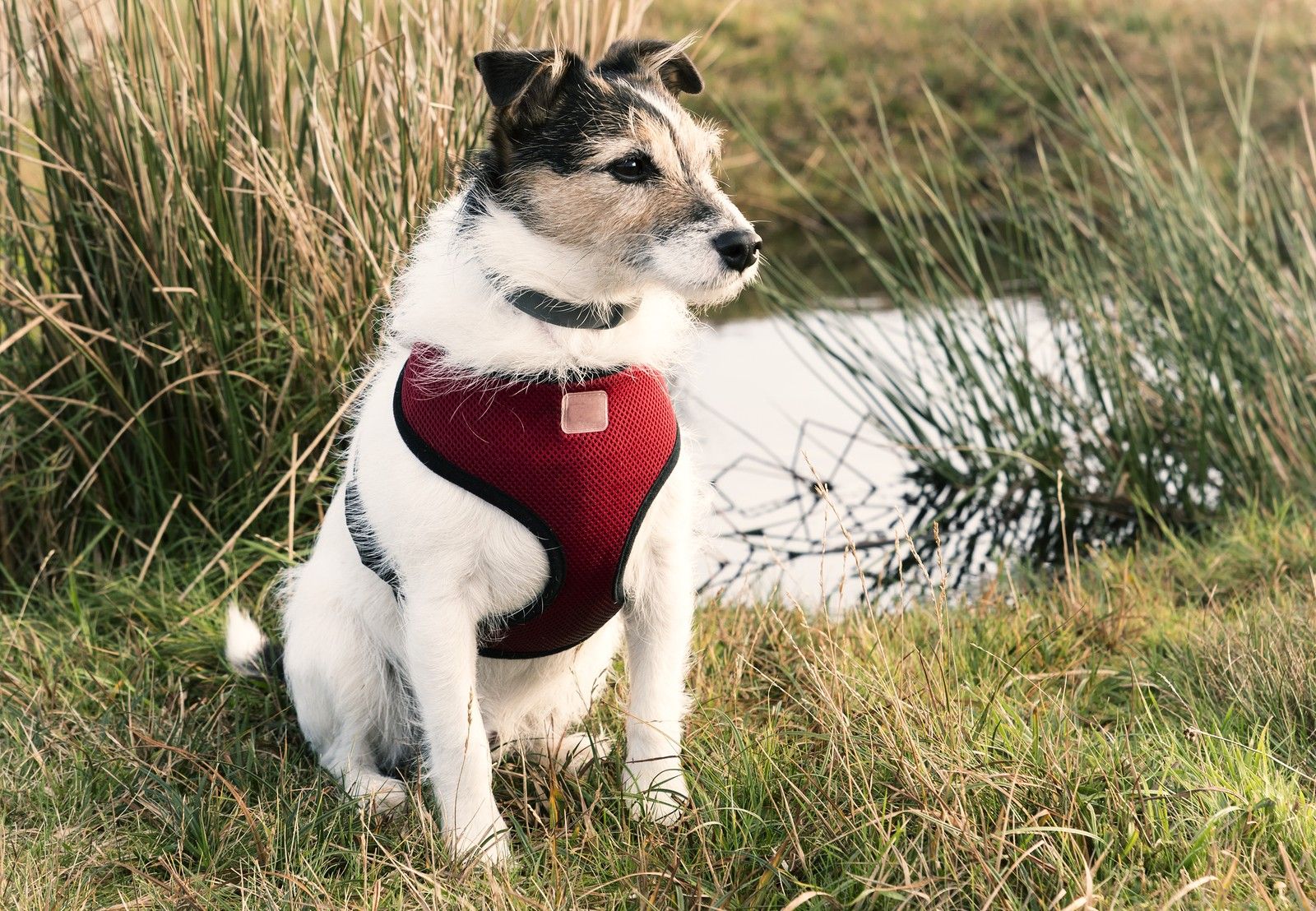 Best Dog Harness For Jack Russell