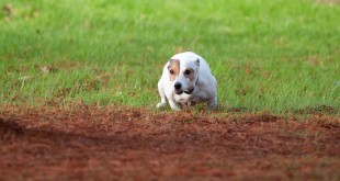 Dog digging yard