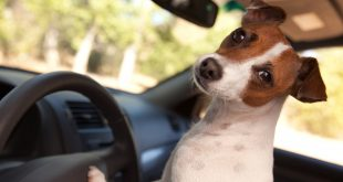 Everyday Driving With Your Dog