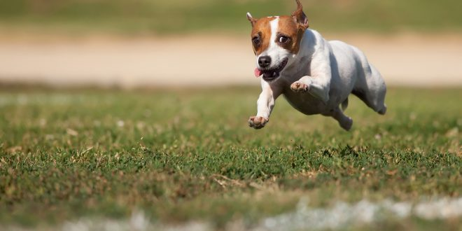 Tips For Running With Your Jack Terrier Happy Jack Russell