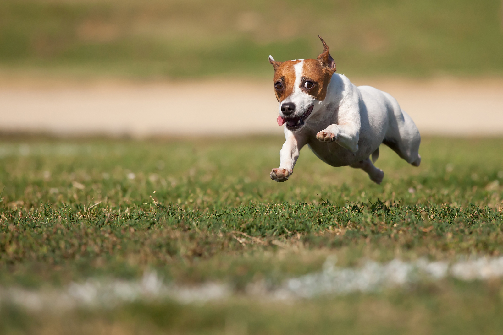 Is a Jack Russell Appropriate for You?