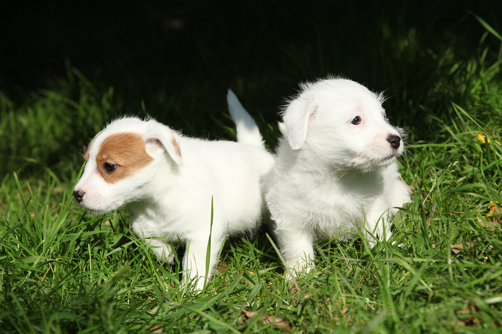 best chew toys for jack russell puppies