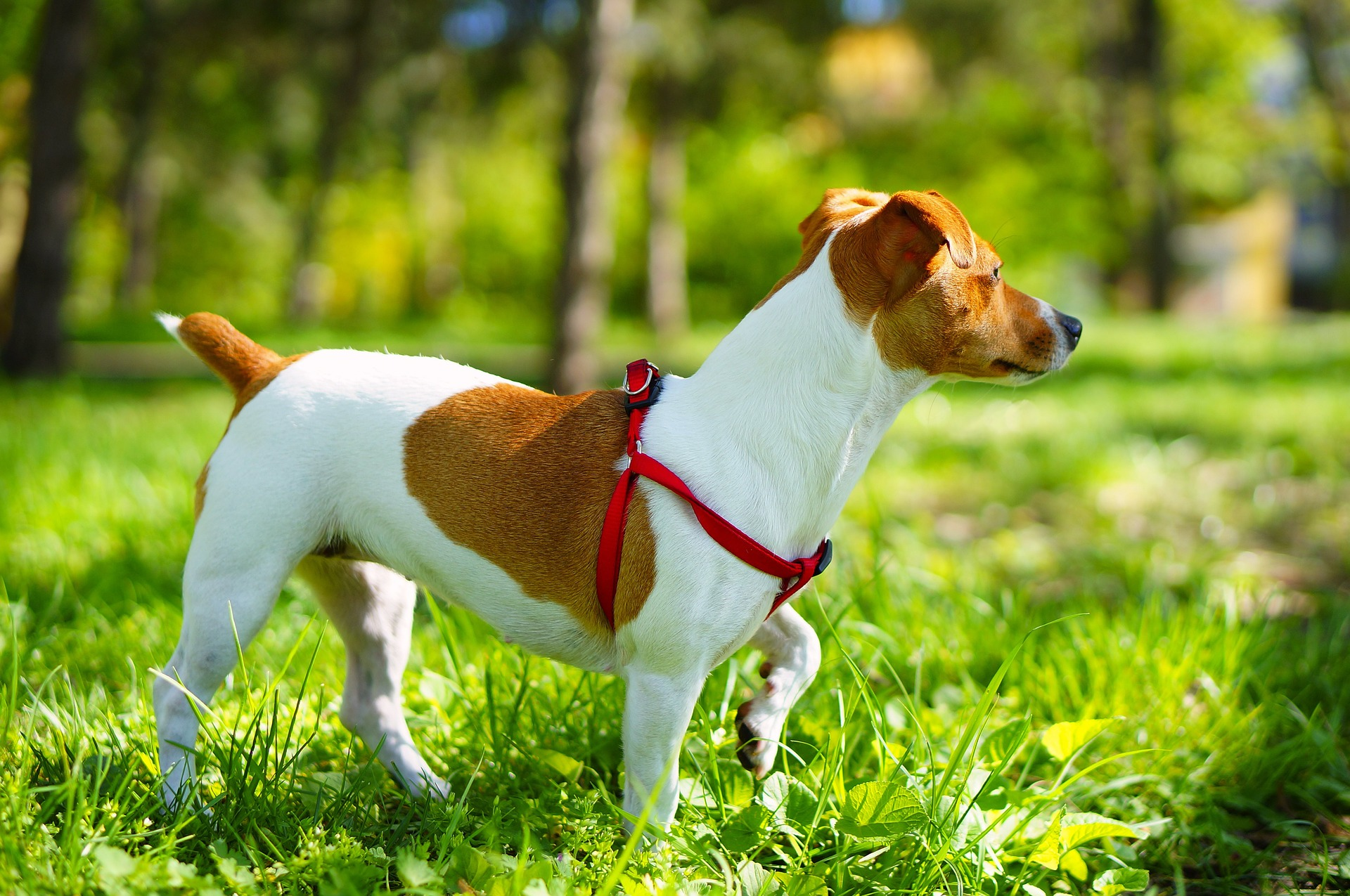 Secrets to Maintaining Your Jack Russell Dog Healthy and Happy