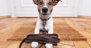 Best Leash for your Jack Russell