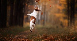 getting a Jack Russell Terrier